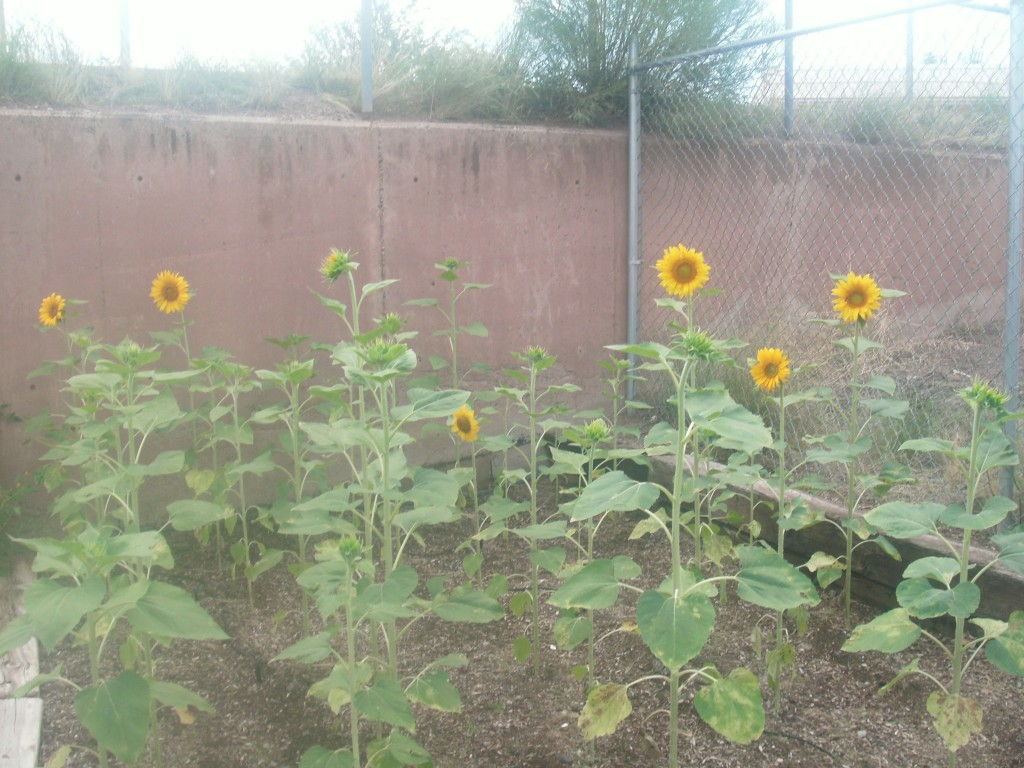 Our Garden Sunflowers