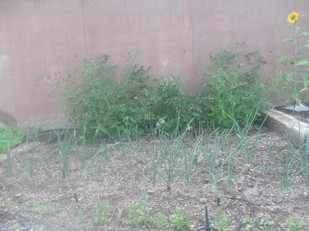 Our Garden  Salsa Garden