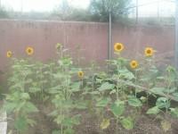 Our Garden Sunflowers