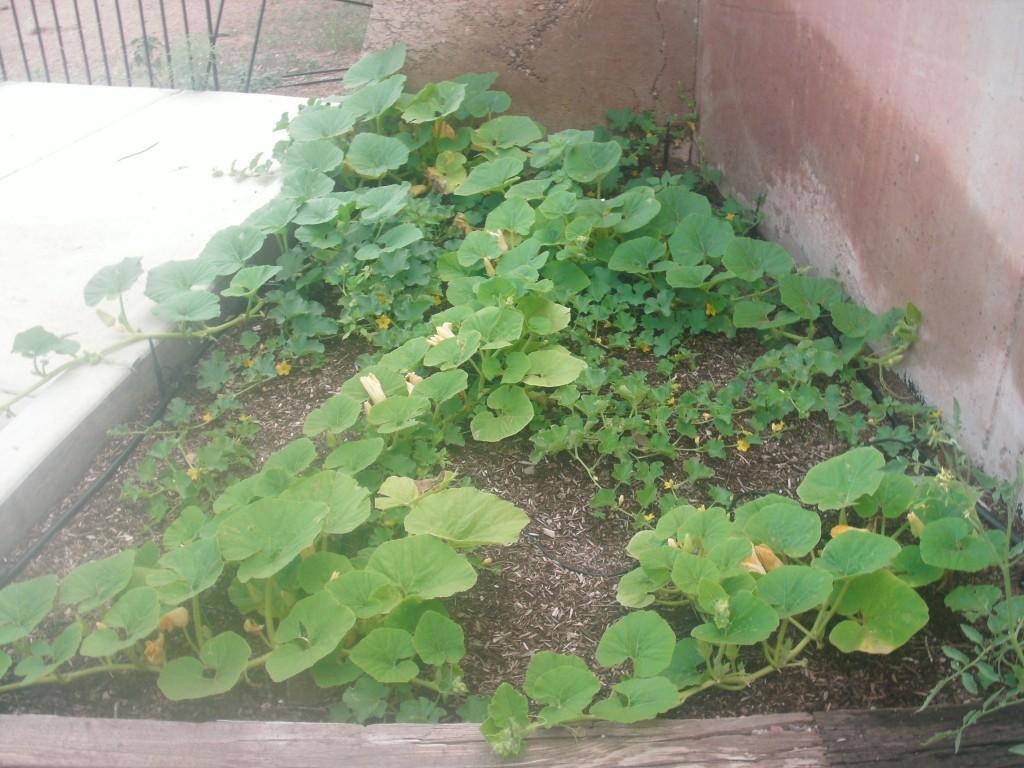 Our Garden  Pumpkin Patch
